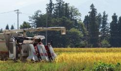 自家栽培米